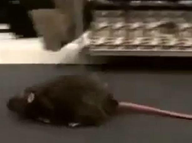 Experiment mit ferngesteuerter Ratte in der Umkleidekabine
